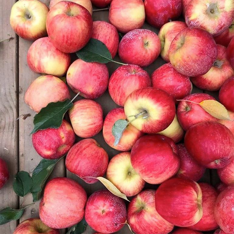 autumn glory apples