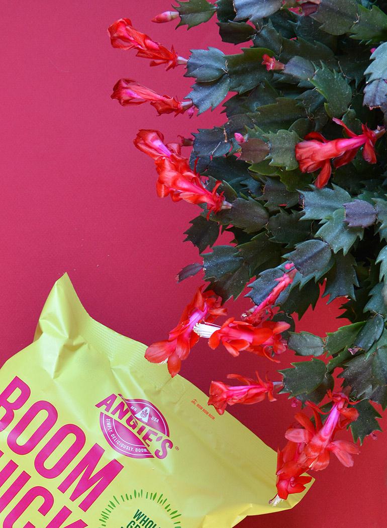 christmas cactus holiday gift