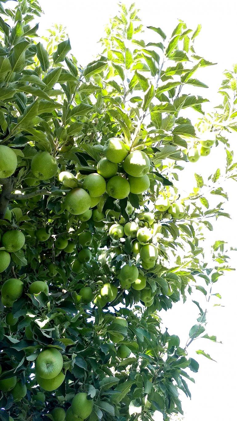 granny smith apple orchard in washington